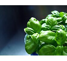 my own homegrown baby basil Photographic Print
