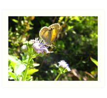 Butterfly ~ Dainty Sulfer Art Print