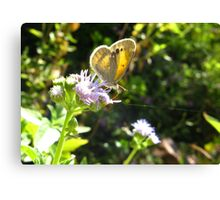 Butterfly ~ Dainty Sulfer Canvas Print