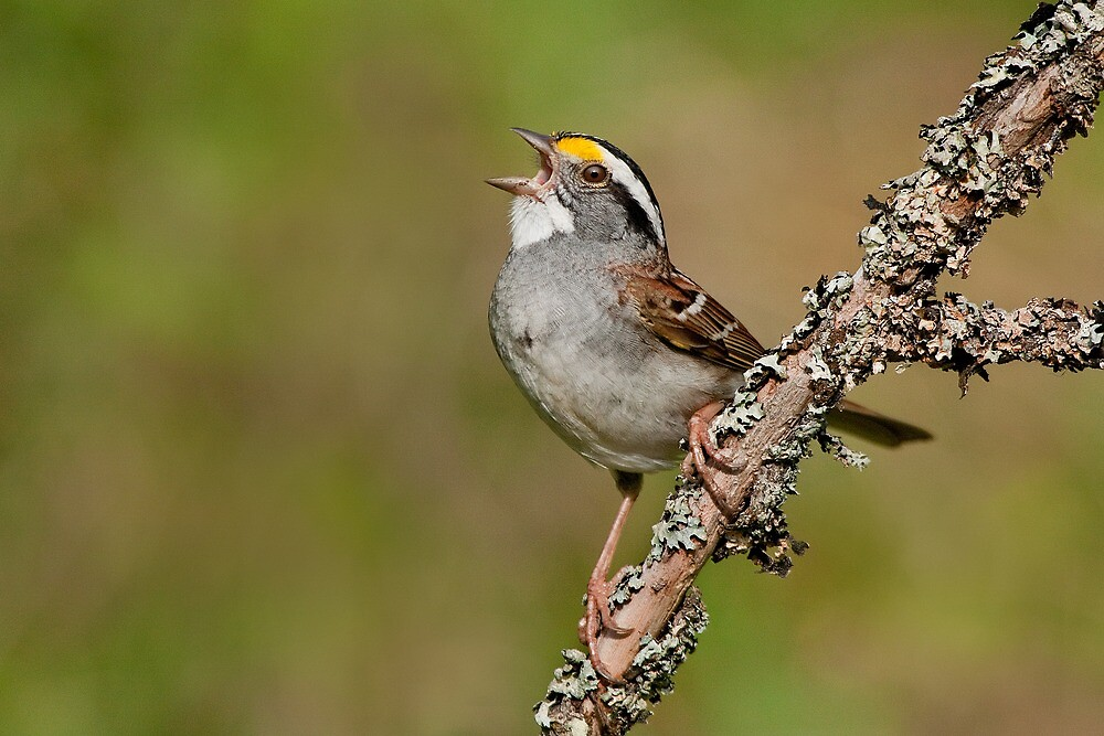 White-throated Sparrow in full song! by Daniel Cadieux