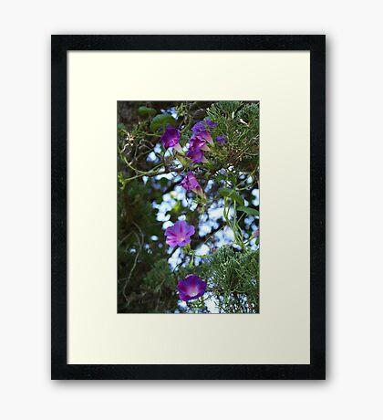 Purple Climbers. Framed Print