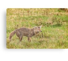 Coyote wet, wild and woolly Canvas Print