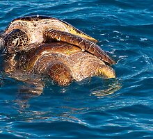 Romance amongst Green Turtles Hervey Bay by Jaxybelle
