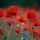     series . I just pity year and beautiful dancing poppy flowers.   A mnie jet szkoda lata. Andre Brown Sugar This image Has Been S O L D .  Fav 41 Views:  : 3476 .  Buy what you like! Thx! by AndGoszcz
