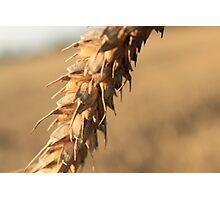Solo barley Photographic Print