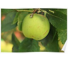 Large cooking apple Poster
