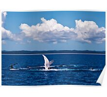 Humpback Whales - Mother, Calf and Escort at play Poster
