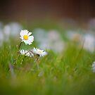 Daisy by Aaron Radford