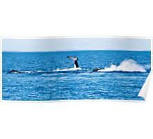Humpback Whales - Mother, Calf and Escort at play 2 Poster
