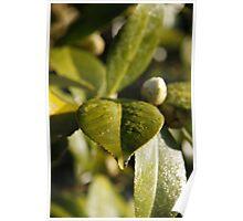leaf droplet Poster