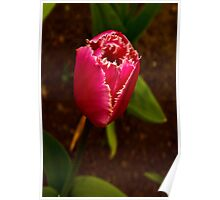 Varigated Tulip #2   (Spring - Early May) Poster