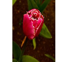 Varigated Tulip #2   (Spring - Early May) Photographic Print