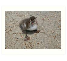 Australian Wood Duckling. Art Print