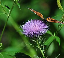 Monarch on thistle front view by mltrue