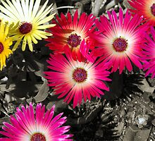 Garden Bed Colour Riot by tarynb
