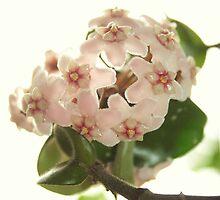 Hoya Compacta - Waxplant - Porzellanblume by Tanja Katharina Klesse