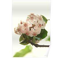 Hoya Compacta - Waxplant - Porzellanblume Poster