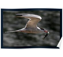 The Common Tern Poster