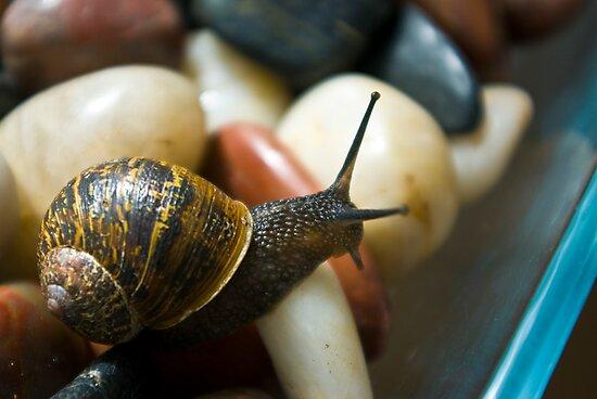 Macro Garden Snail by Trevor Kersley