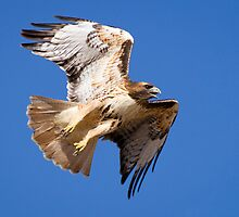 Red-Tailed Hawk by Chris Heising