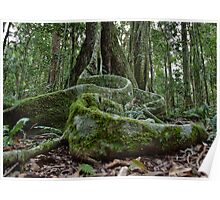 Booyong Tree,Lamington NP,Australia Poster