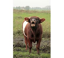 Dutch Belted Bull Photographic Print