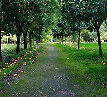 Orange garden in Sicily, Italy by Atanas Bozhikov Nasko