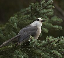 gray Jay by creativegenious