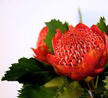 Australian Native Waratah - Telopea by Rosebuds