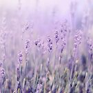 Lavender by Lady-Tori