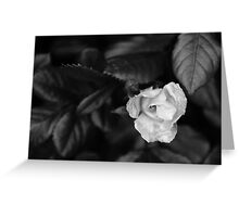rose with velvety leaves Greeting Card