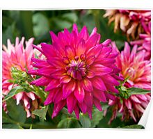 Dahlia In Bloom 15 Poster