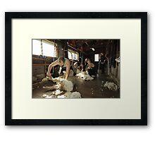 Shearing, Tooborac, Victoria, Australia Framed Print
