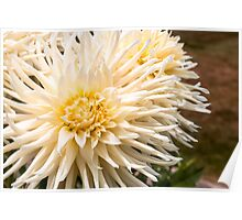 Dahlia In Bloom 14 Poster