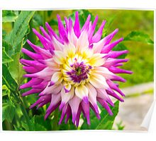 Dahlia In Bloom 16 Poster