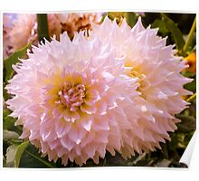 Dahlia In Bloom 17 Poster