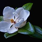 Magnolia by Andy and Von Quinn