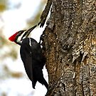 Pileated woodpecker by amontanaview