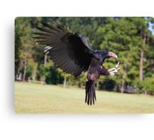 Turkey Vulture Landing Canvas Print
