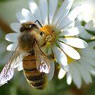 Honey Bee by Brad Sumner