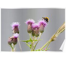 Bumble Bee Collecting Nectar from a Thistle Poster