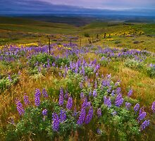 Lupine Burst by Darren White  Photography