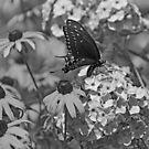 Swallowtail by Sandy Keeton