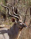 Impressive Kudu Male by Michael  Moss