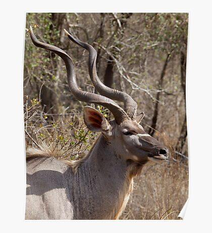 Impressive Kudu Male Poster