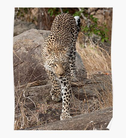 Female Leopard Poster