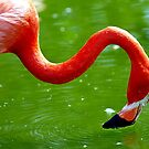 Flamingo Ripples by tigerwings