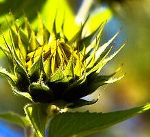 So sweet, sunflower bud by amontanaview