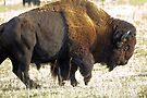 A big bison bull by amontanaview