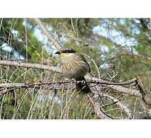 Singing Honeyeater in a Drooping She-oak Photographic Print
